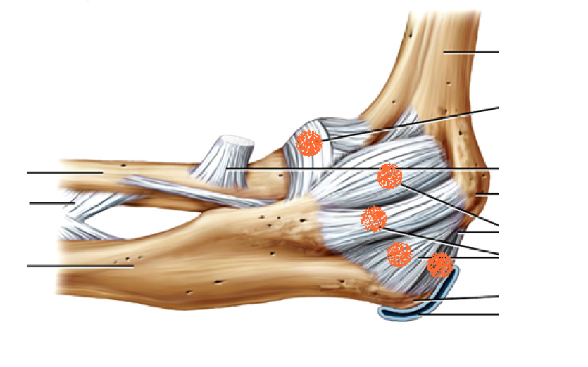 https://www.studyblue.com/notes/note/n/4c-elbow-ligaments/deck/3141629