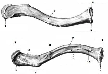 http://anatomy-portal.info/anat/membrum-sup/cingulum-mem-sup/clavicula.jpg