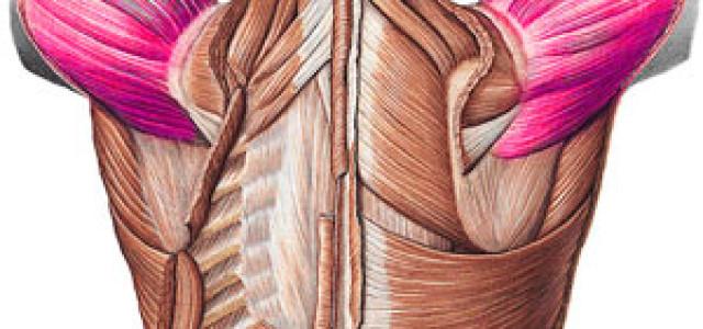 3# Mięśnie obręczy barkowej