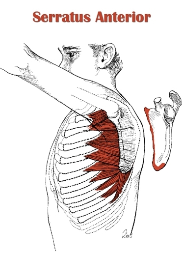 http://www.myweightlifting.com/serratus-anterior-muscle.html