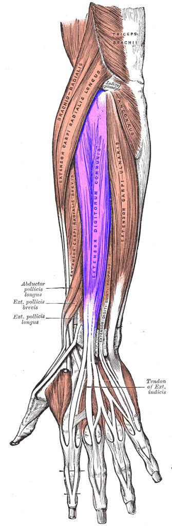 Extensor_digitorum_muscle