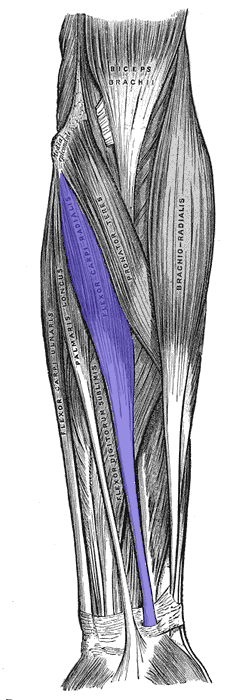 Flexor-carpi-radialis