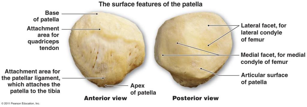 patella