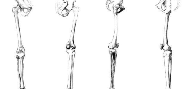 16# Połączenia kości goleni