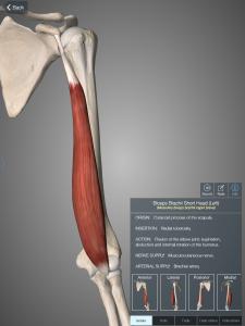 Mięsień dwugłowy ramienia, głowa krótka (opcja isolate)
