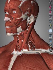 Widok na mięśnie szyi (opcja hide na mięśniu płatowatym szyi)