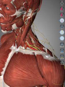 Widok na mięśnie szyi, nerwy oraz naczynia krwionośne (hide na mięśniu płatowatym i czworobocznym)