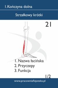 21 Strzałkowy krótki 1