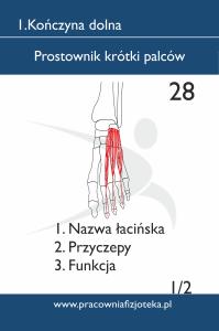 28 Prostownik krótki palców 1