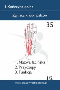 35 Zginacz krótki palców 1
