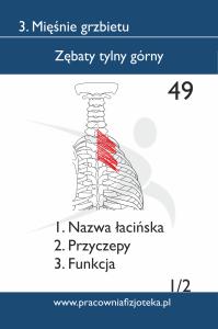 49 Zębaty tylny górny1