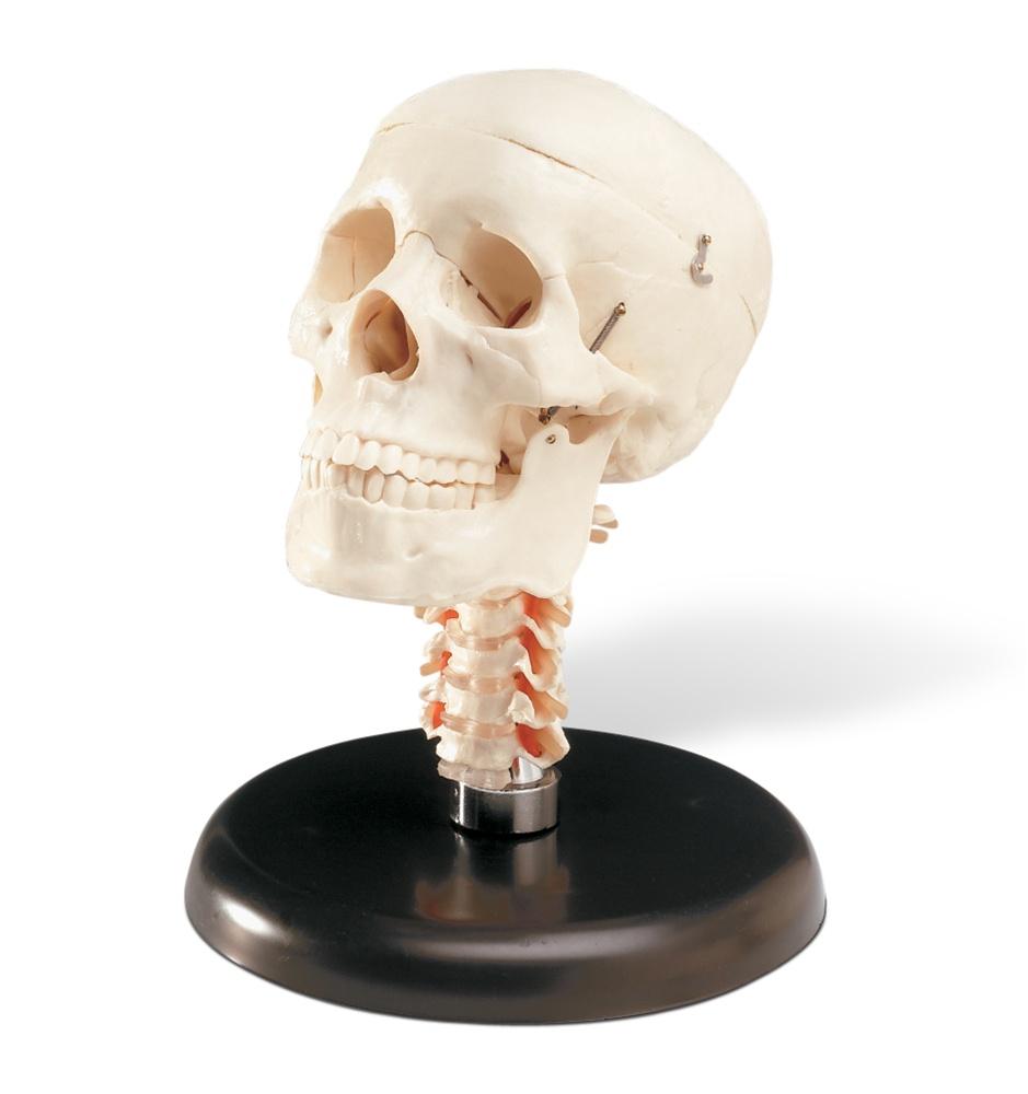 czaszka model 1